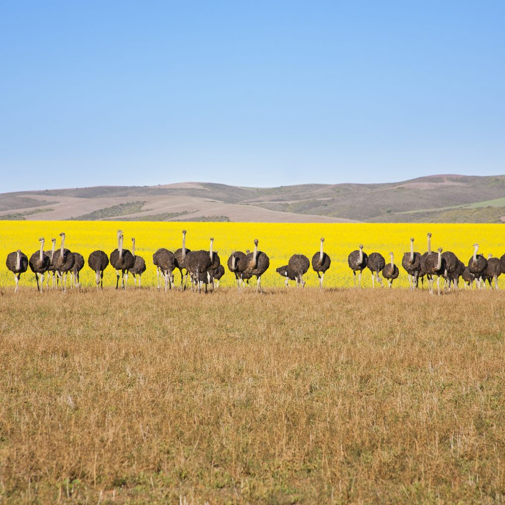 Line of ostriches with canola field backdrop, South Africa