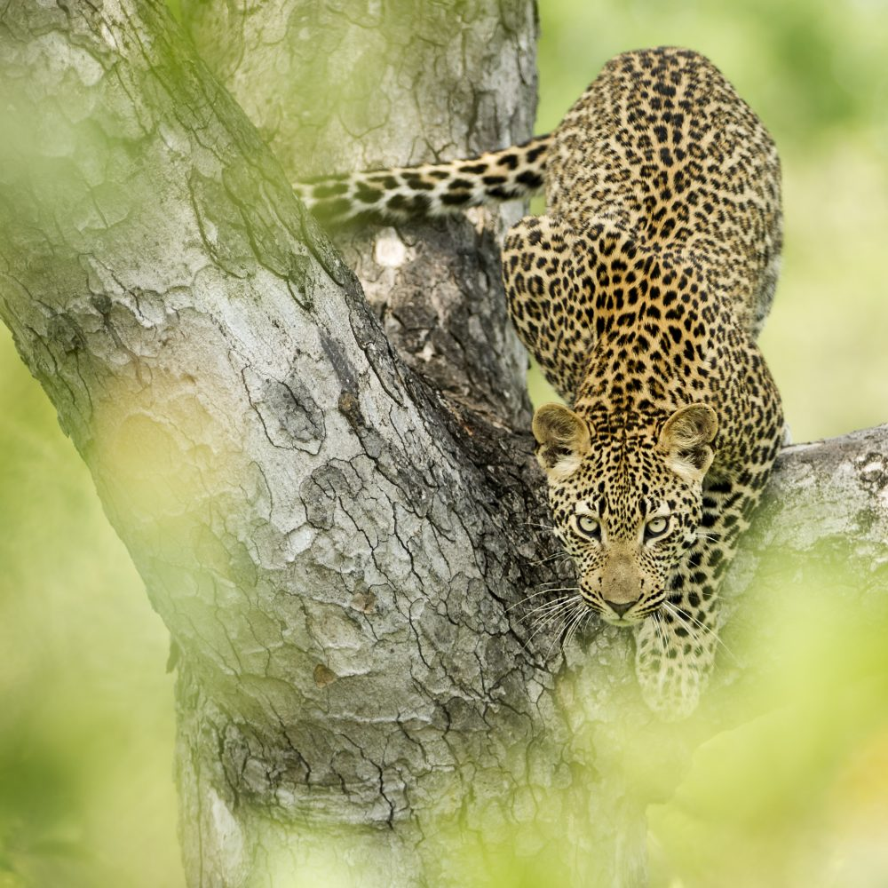 Singita-Boulders-Lodge-Wildlife7
