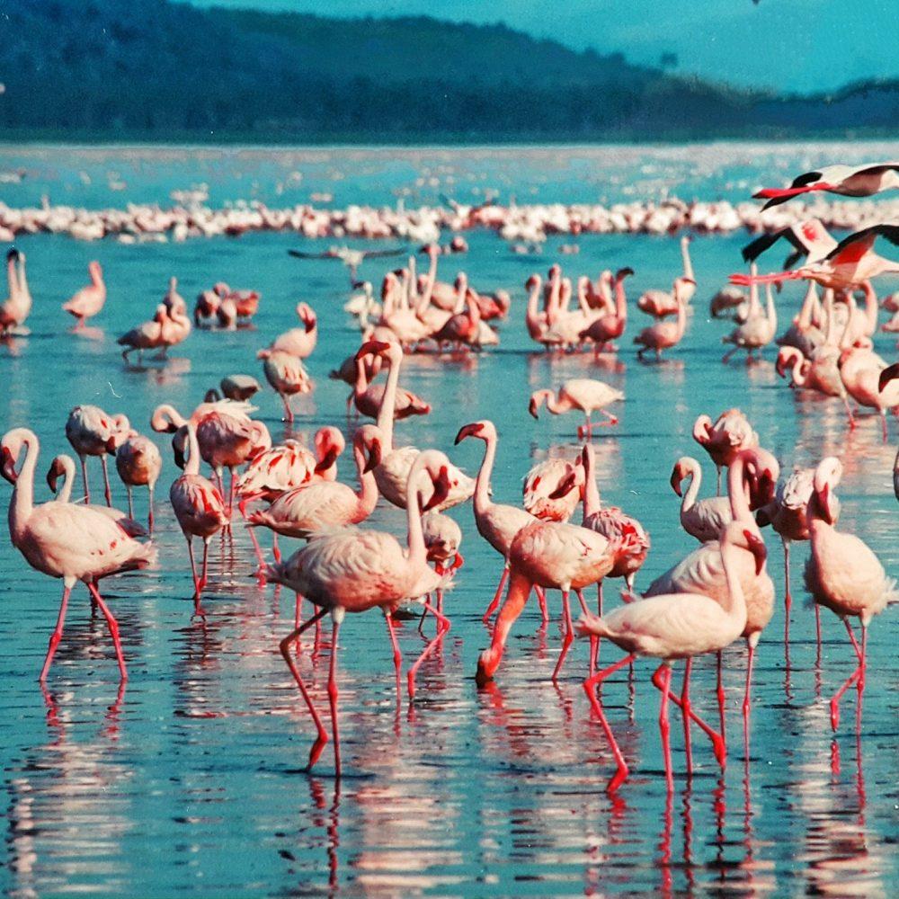Flamingos in Kenya